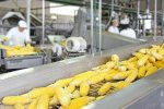 zucchini travels down a conveyor belt during food processing